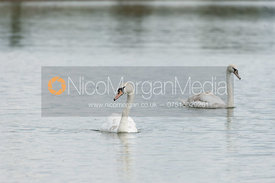 Swans on Rutland Water