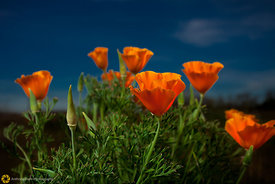 California Poppies #7