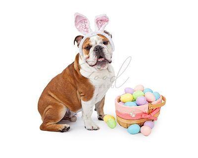 Easter Bunny English Bulldog