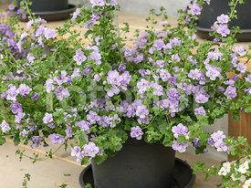 fotoflor toutes les photos et images de plantes fleurs. Black Bedroom Furniture Sets. Home Design Ideas