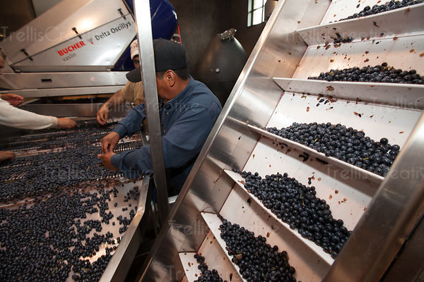 Men sort grapes to be made into red wine