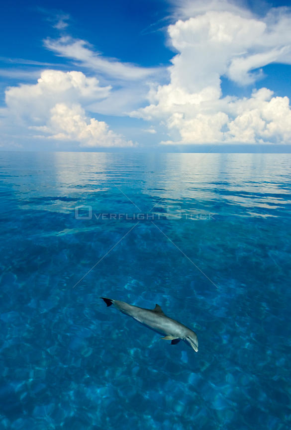 Bottlenose dolphin (Tursiops truncatus) in shallow water over a sand bank. Sandy Ridge, Little Bahama Bank, Bahamas. Tropical West Atlantic