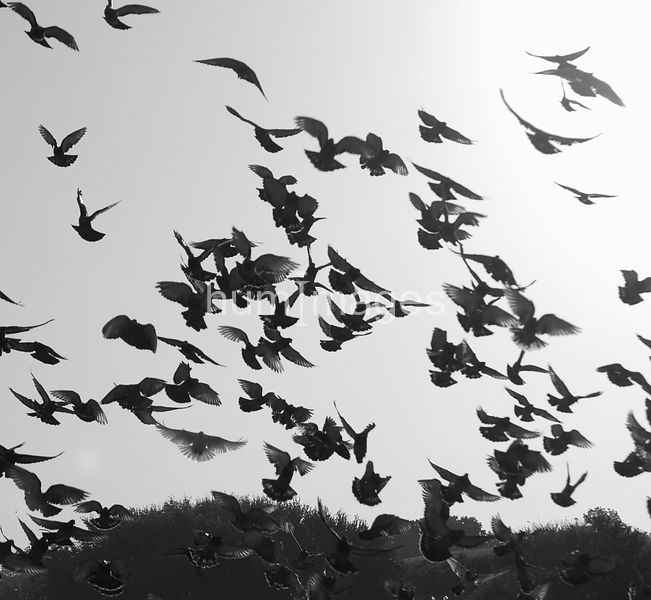 Black and white image of flock of pigeons flying
