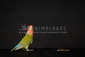 Young lovebird in studio with black background