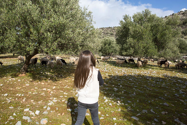 Alessandra, 7 ans, regarde les brebis tondre l'herbe sous les oliviers dans une oliveraie à Kritsa, Crète, Grèce / Alessandra, 7, watches the sheep mow the grass under the olive trees in an olive grove in Kritsa, Crete, Greece