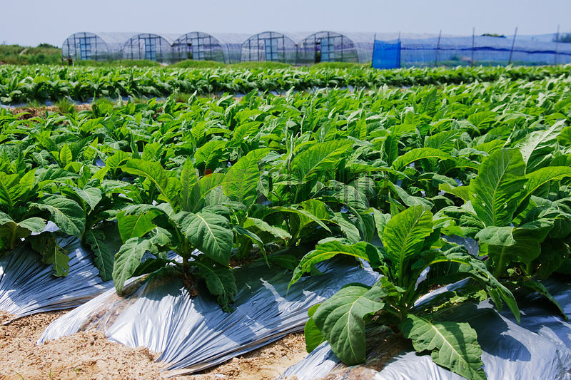 Rows of Tobacco Plants