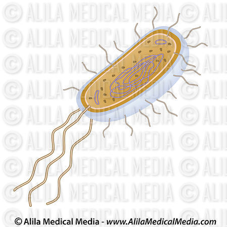 Alila Medical Media | Bacteria structure, unlabeled ...