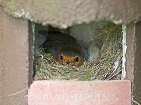 Robin Eithacus rubecula nesting in open fronted nest box Norfolk May