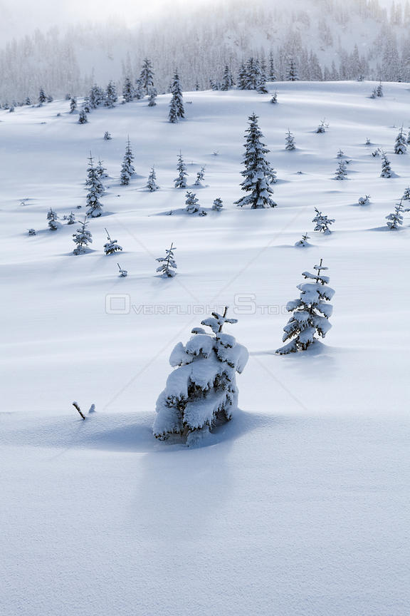 Snow covered trees in clear cut near Windy Pass, Mount Baker-Snoqualmie National Forest, Washington, USA. January 2016.