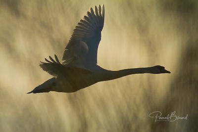 Flying Swan against the sunlight