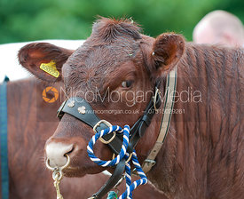 Headshot of show cattle, Rutland Show