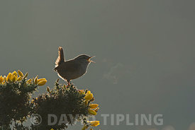 Wren, Troglodytes troglodytes in song at dawn North Norfolk March