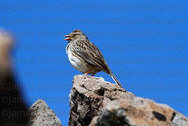 Adult female Band-tailed sierra finch (Phrygilus alaudinus)