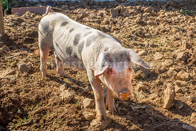 Spotted pig standing on earthy ground on a farm