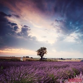 Tree in lavender field at sunrise, Provence, France