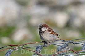 House Sparrow Passer domesticus male Northumberland June