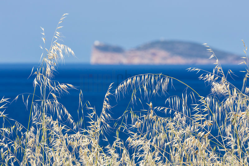 Capo Caccia in the Distance with Sea Grass in the Foreground