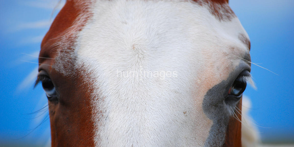 Close up of eyes of a paint horse