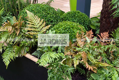 Association : Dryopteris erythrosora (fougère) et Buxus sempervirens (buis), Paysagiste : Roger Smith. HCFS, Angleterre