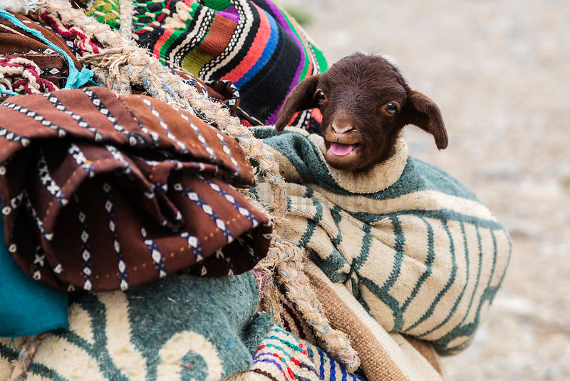 Goat Kid Wrapped in Blanket on Donkey