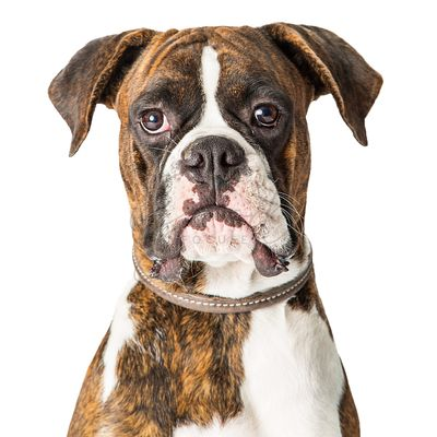 Closeup Boxer Dog Looking Forward