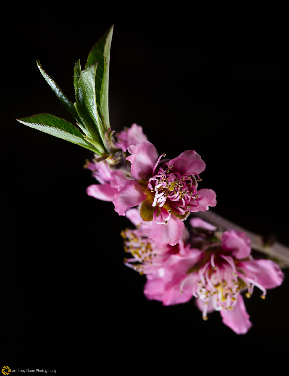 Peach Blossoms # 5