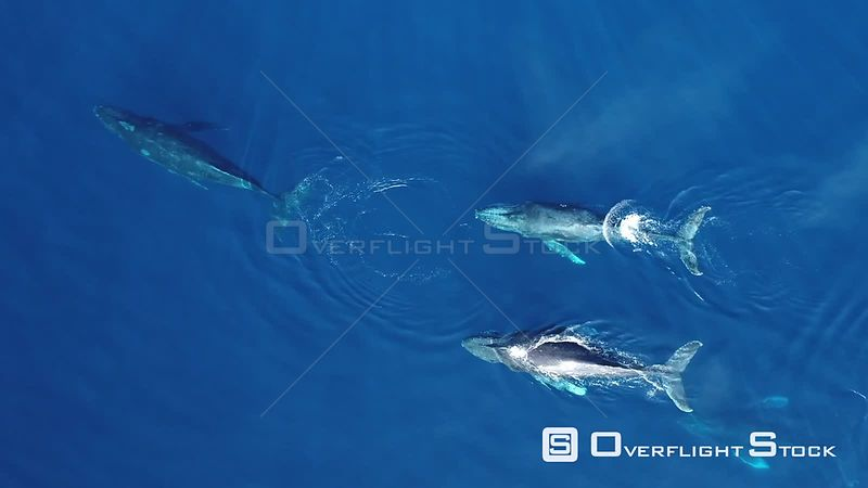 Aerial view of four Humpback whales (Megaptera novaeangliae) at surface, Gorda Banks, Baja California, Mexico, 2017.