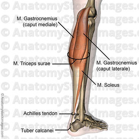 lowerleg-musculus-triceps-surae-achilles-tendon-calf-muscle-gastrocnemius-mediale-laterale-soleus-tuber-calcanei-side-skin-names