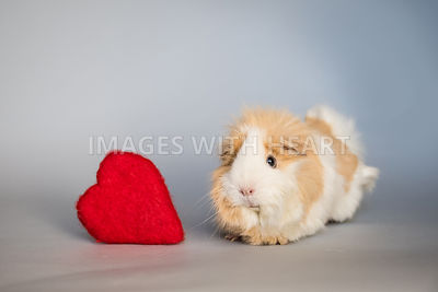 Guinea Pig Next to Red Heart
