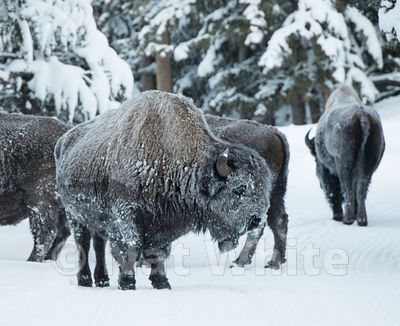 Frosted_Bison-1285_January_21_2018_Nat_White