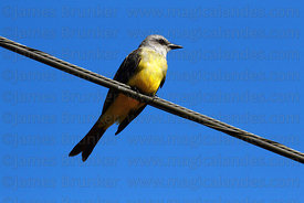 Tropical Kingbird (Tyrannus melancholicus) perched on telegraph wire