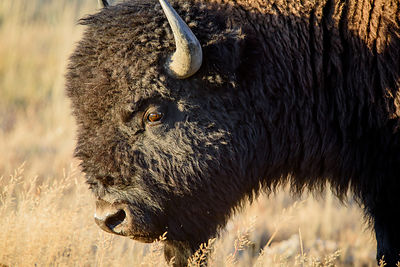 Bison Bull Portrait