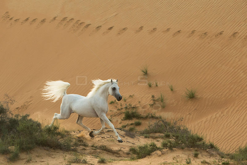 Grey Arabian stallion running in desert dunes near Dubai, United Arab Emirates.