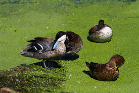 Puna teal (Anas puna) preening with wing showing speculum