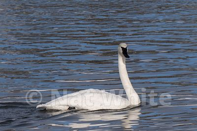 Tumpeter_swans_Hayden_Valley-1274_January_20_2018_Nat_White