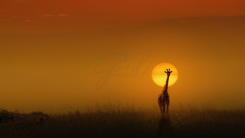 Masai Giraffe at Golden Sunset
