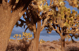Joshua Trees in late afternoon light