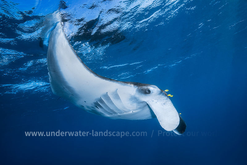 Manta ray - Lagoon of mayotte