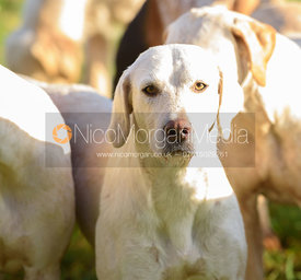 Cottesmore hounds at the meet at Withcote Lodge 16/11