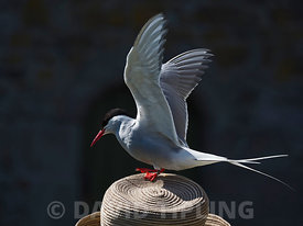 Arctic Tern Sterna paradisaea adult perched on head of day tripper Inner Farne Farne Islands Northumberland June