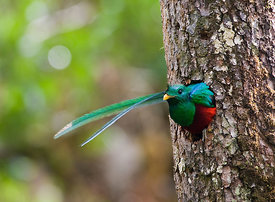 Resplendent Quetzal  Pharomachrus moccino male looking out of nest hole Central Highlands Costa Rica