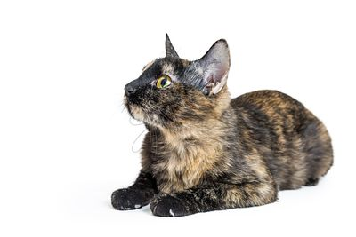 Tortoiseshell Cat Lying Facing Side