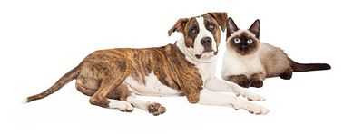 Siamese Cat and Mixed Breed Dog
