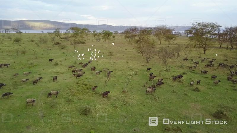 Aerial View of Buffalos in the Savannah at Masai Mara Reserve, Filmed by Drone, Kenya