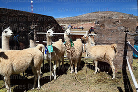 Tampuli breed llamas (R) with Ccara breed llamas (L) in pen during competition, Curahuara de Carangas, Bolivia