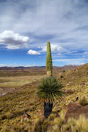 Puya raimondii with nearly full grown flower spike growing on hillside, Comanche, Bolivia