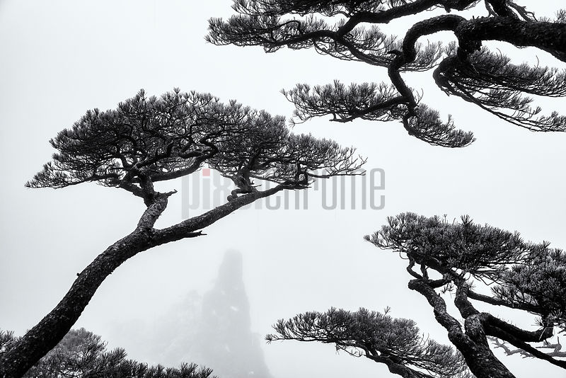 Huangshan Pines Overlooking the Grand Canyon