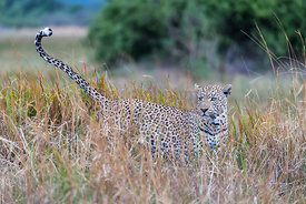 Male Leopard Scent Marking