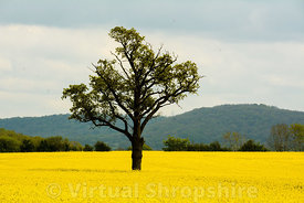 Tree in a rapeseed field