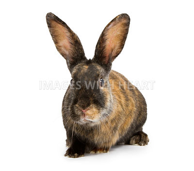 A Harlequin Rabbit Isolated on White